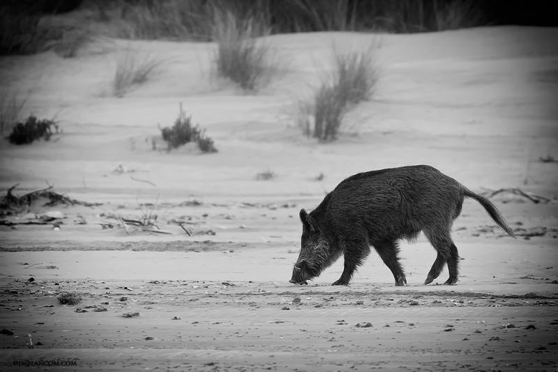 Caprichos de Doñana. Jabato en la playa