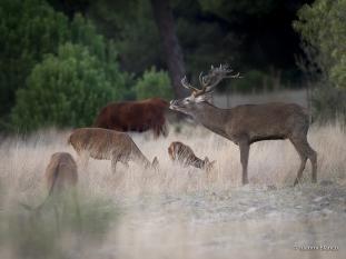 La berrea del ciervo