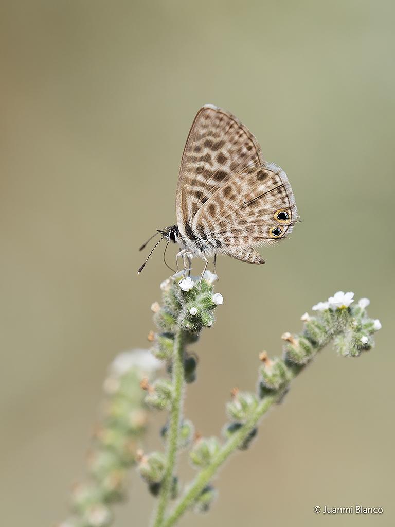 Mariposa ocelada