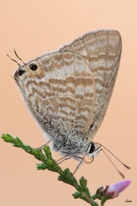 Canela estriada - Lampides boeticus