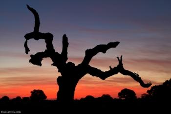 Caprichos de Doñana. El viejo Alcornoque